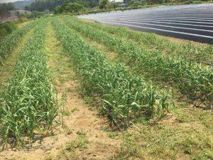 ニンニク収穫前の畑